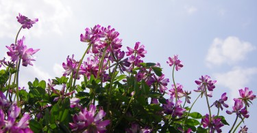 Astragalus in the Sun